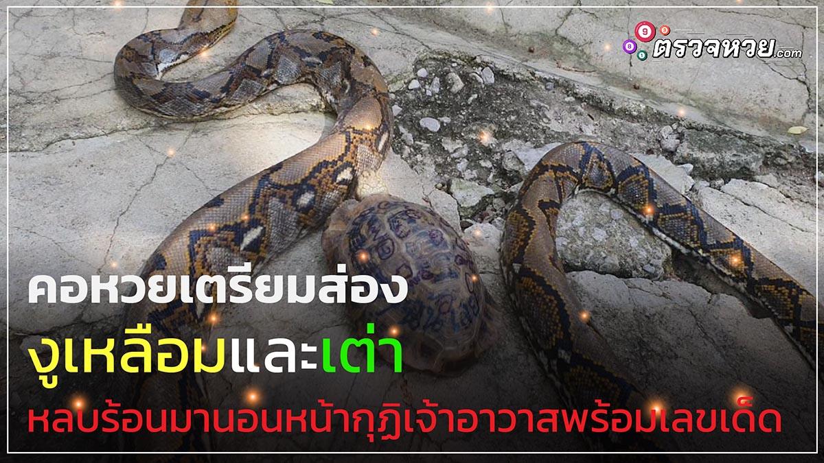 คอหวยเตรียมส่อง งูเหลือมและเต่า หลบร้อนมานอนหน้ากุฏิเจ้าอาวาส พร้อมเลขเด็ด