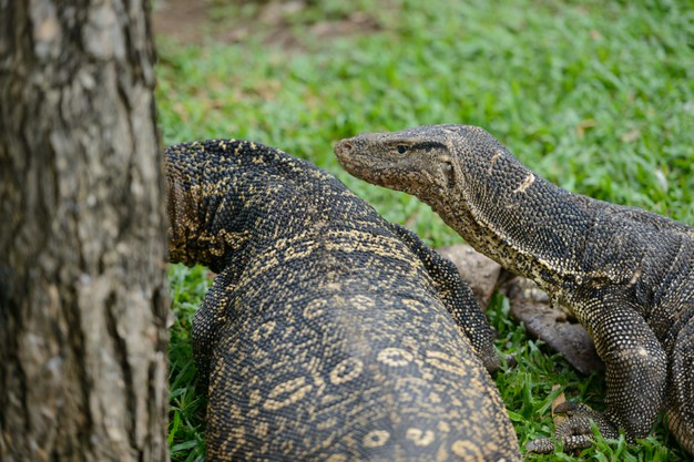 two-water-monitor-lizards-walking-around-the-grass-together