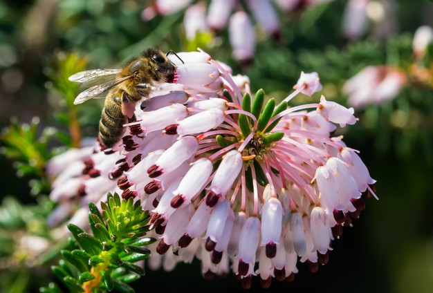 a bee collecting pollen from mediterranean heath flowers