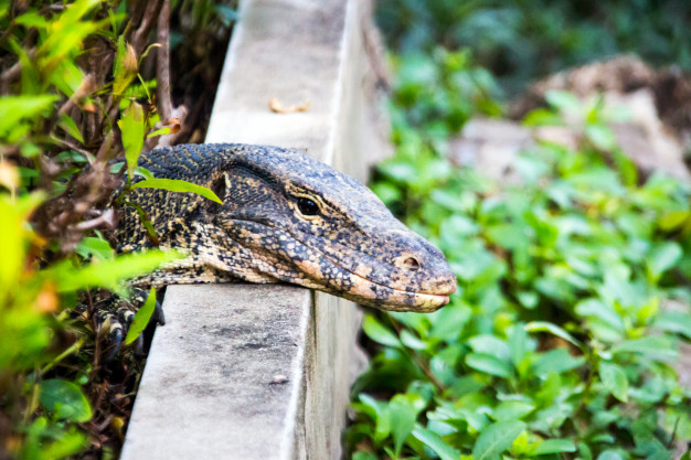Varanus-salvator-on-natural-field