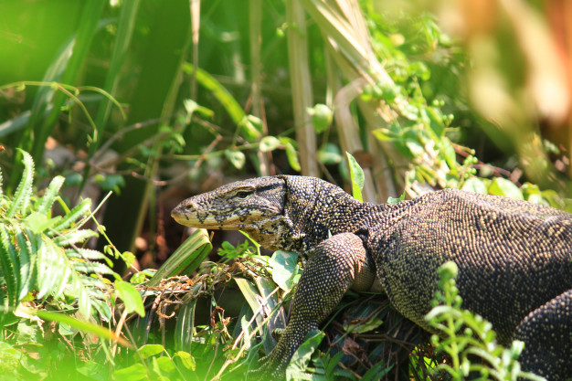 Water-monitor-is-reptiles